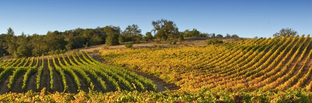 drew vineyard xtra large.jpg